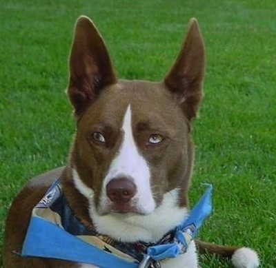 Close Up - A brown with white Husky Jack in a blue bandana is laying in grass.