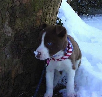 A small brown with white Husky Jack puppy is wearing a red, white and blue bandanna standing next to a tree with a pile of snow behind it