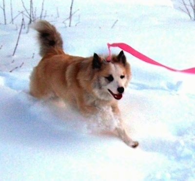 A tan with white Icelandic Sheepdog is running through snow. Its mouth is open and tongue is out