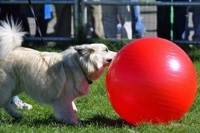 A tan with white Icelandic Sheepdog is standing in grass and biting at a red ball that is almost as large as the dog.