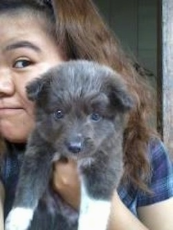 A grey with white Imo-Inu puppy is in being held in the air by a person that is standing behind it.