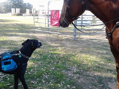 Twilight the Irish Dane at 1 year old checking out the horse.