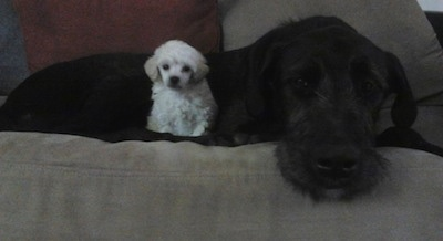 A black with white Irish Dane is laying on a tan couch next to a small white Toy Poodle
