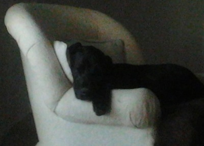 A black with white Irish Dane is sleeping in an arm chair with its head and front paw hanging over the edge.