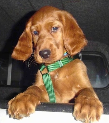Close Up - A red Irish Setter puppy is jumped up with its paws over the top of the open window of a  car .