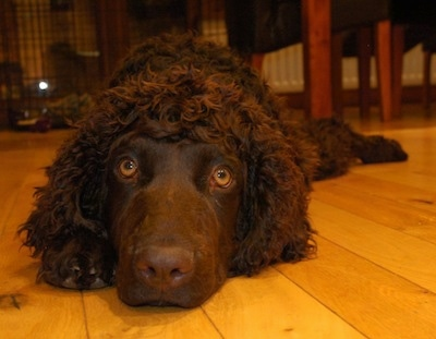 A brown Irish Water Spaniel is laying down on a hardwood floor in front of a table