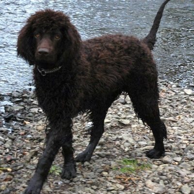 A brown Irish Water Spaniel is standing on rocks next to a body of water