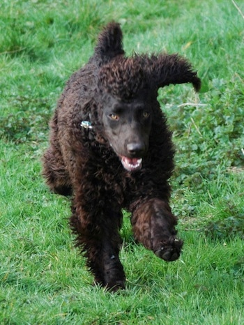 Action shot - A brown Irish Water Spaniel is running in grass