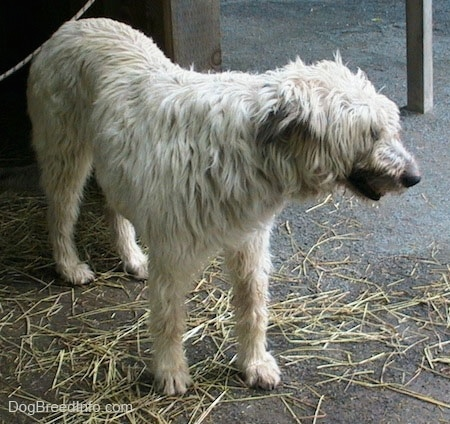 A white with tan Irish Wolfhound is standing in dirt and looking to the right.