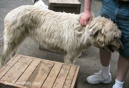 A white and tan Irish Wolfhound is standing next to a person who is petting the dog.