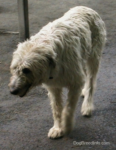 A white with tan Irish Wolfhound is walking across dirt with its head down and mouth open
