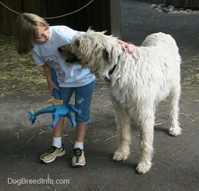 A white with tan Irish Wolfhound is standing next to a blonde haired girl who is holding a blue toy