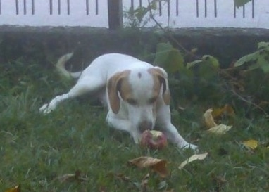 A white with brown Istrian Shorthaired Hound dog is laying outside in grass and eating an apple