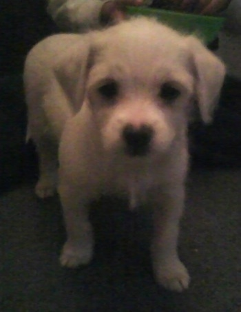 A small white Italian Tzu puppy is standing on a carpet and looking forward