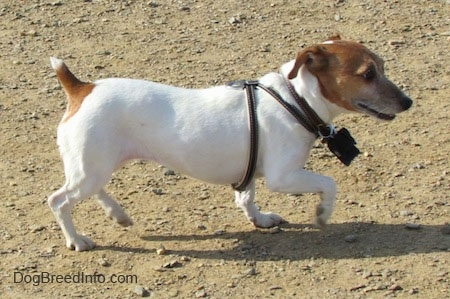 A white with tan Jack Russell Terrier is wearing a black harness trotting across dirt