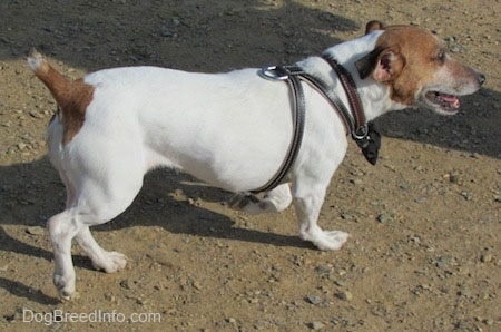 Side view - A white with tan Jack Russell Terrier is walking across dirt with its mouth open