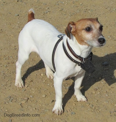 A white with tan Jack Russell Terrier is standing in dirt and looking forward