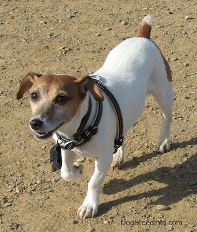 A white with tan Jack Russell Terrier is standing in dirt, its front right paw is up.