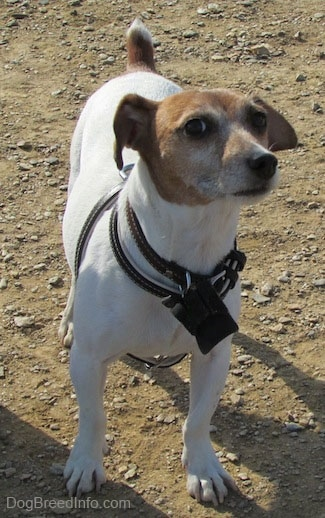 A white with tan Jack Russell Terrier is standing in dirt and looking up and to the right with a wise face
