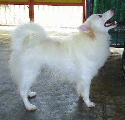 Right Profile - A white Japanese Spitz is standing in a room and looking up, its mouth is wide open