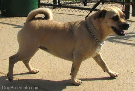 Jug Dog Breed Information And Pictures