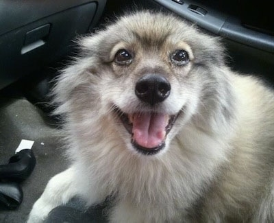 Keeshond Dog Breed Pictures 1