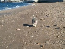 A Keeshond is walking across a beach with blue water behind her