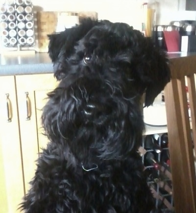 Close Up head on upper body shot - A black Kerry Blue Terrier is sitting next to a wooden chair in a kitchen