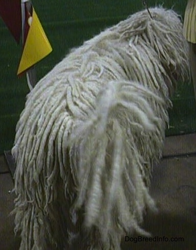A white Corded Komondor walking away from the camera at a dog show.