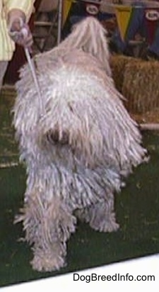 Adult Komondor in a full corded coat