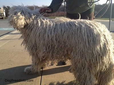 A white Corded Komondor is standing on a sidewalk next to a road. There is a person pulling its leash behind it