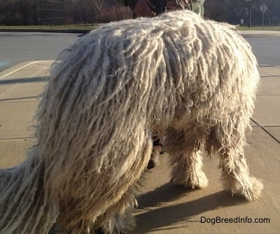 A white Corded Komondor is standing on a sidewalk facing away from the camera and looking down.