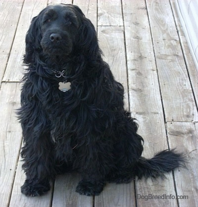 A wavy-coated, long-haired black Labradoodle is sitting on a wooden deck and looking up