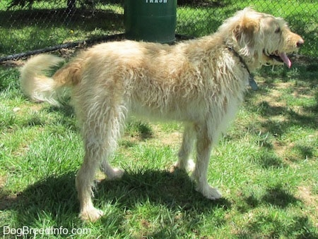 A wavy-coated white and tan Labradoodle is standing in grass. There is a chain link fence behind it with a trash can in the corner. Its mouth is open and tongue is out
