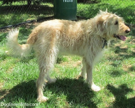 A wavy-coated white and tan Labradoodle is standing in grass. There is a chain link fence and a green trash can behind it.