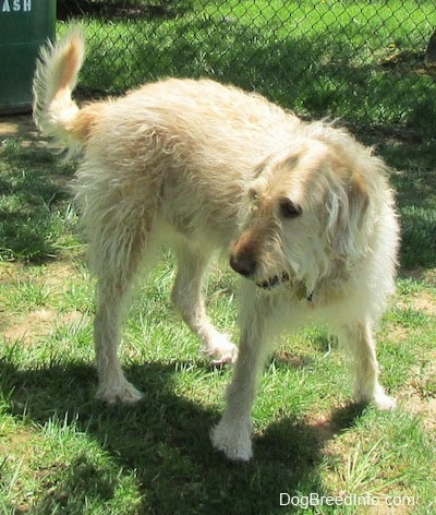 A wavy-coated white and tan Labradoodle is turning to the left in grass.