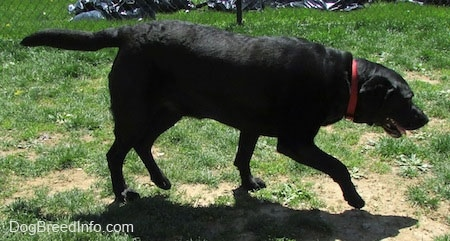 A panting black Labrador Retriever is wearing a red collar walking across grass. Its front paw is in the air.