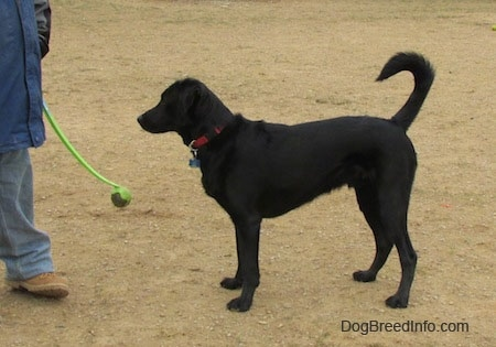 A black Labrador Retriever is standing with its tail up in dirt with a person in front of it holding a tennis ball on a stick