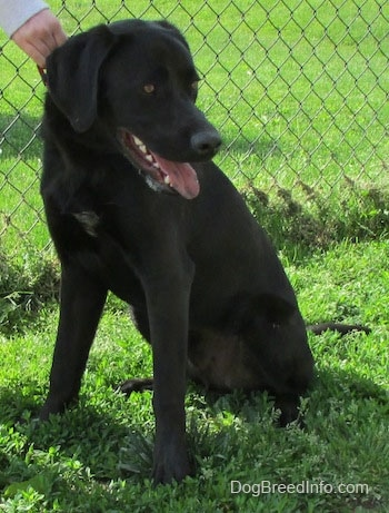 A black Labrador Retriever is sitting in grass and there is a chain link fence behind it. It is looking down and to the right and there is a hand holding its collar. Its mouth is open and tongue is out. Its tongue has black spots over it