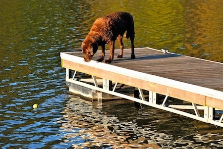 A chocolate Labrador Retriever is looking over the edge of a dock into a body of water at a tennis ball which is in the water. The sun is shining down on the dog.