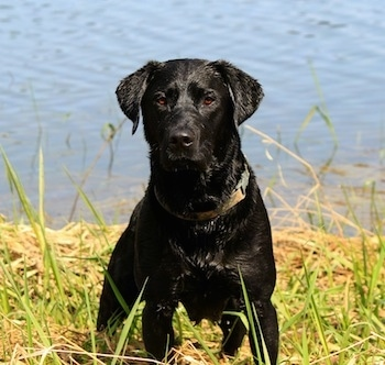 A wet black Labrador Retriever is standing in tall grass on the bank in front of a body of water.