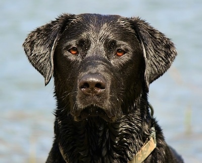 Close Up head shot - A wet black Labrador Retriever is sitting in front of a body of water