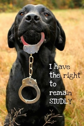 A black Labrador Retriever is sitting in a field and it has a pair of handcuffs hanging out of its mouth. The words - I have the right to remain STUDLY - are overlayed on the image