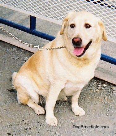 A yellow Labrador Retriever is sitting in dirt and there is a blue railing with a white fence behind it. It is looking to the right of its body. Its mouth is open and its tongue is out.