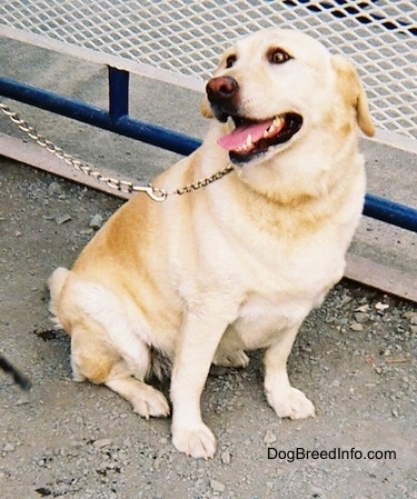Adult yellow Labrador Retriever