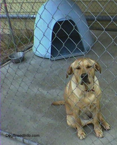 Adult rescue yellow Labrador Retriever