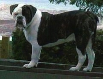 A black with white Larson Lakeview Bulldogge is standing on a bannister and looking to the left of its body. There is a scenic view of the valley below.