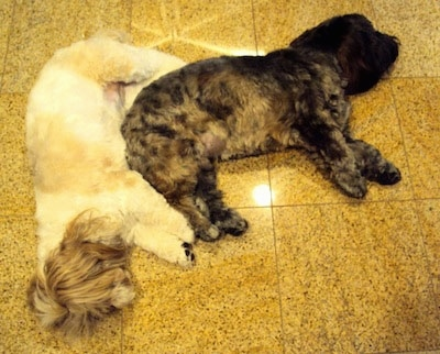 A tan and white Lha-Cocker dog and a black with tan and gray Lha-Cocker are sleeping together like a puzzle piece on a yellow tiled floor. There hair is covering their eyes.