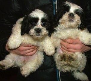Two white and black Lhasa-Coton puppies are being held against the chest of a man.