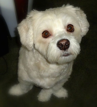Front view - A white Lhasa-Poo is sitting on a carpet and looking up.